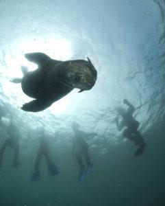 seal-snorkeling-animal-ocean-3